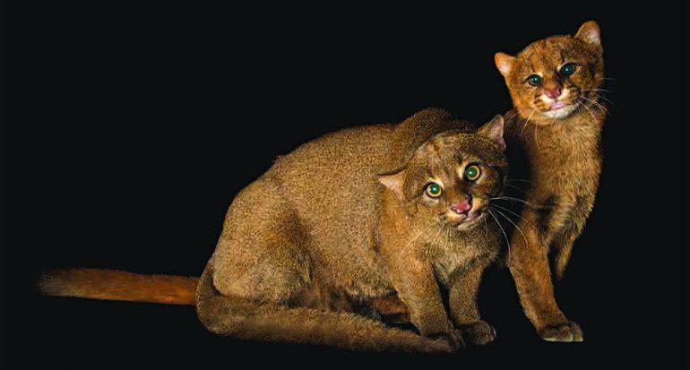 Pequeños felinos
