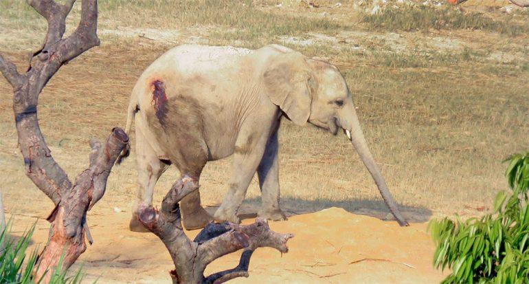 Podrían vender más elefantes africanos a China este año