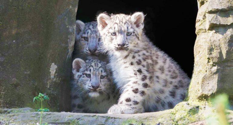 Por primera vez avistan al leopardo de las nieves en el Tibet