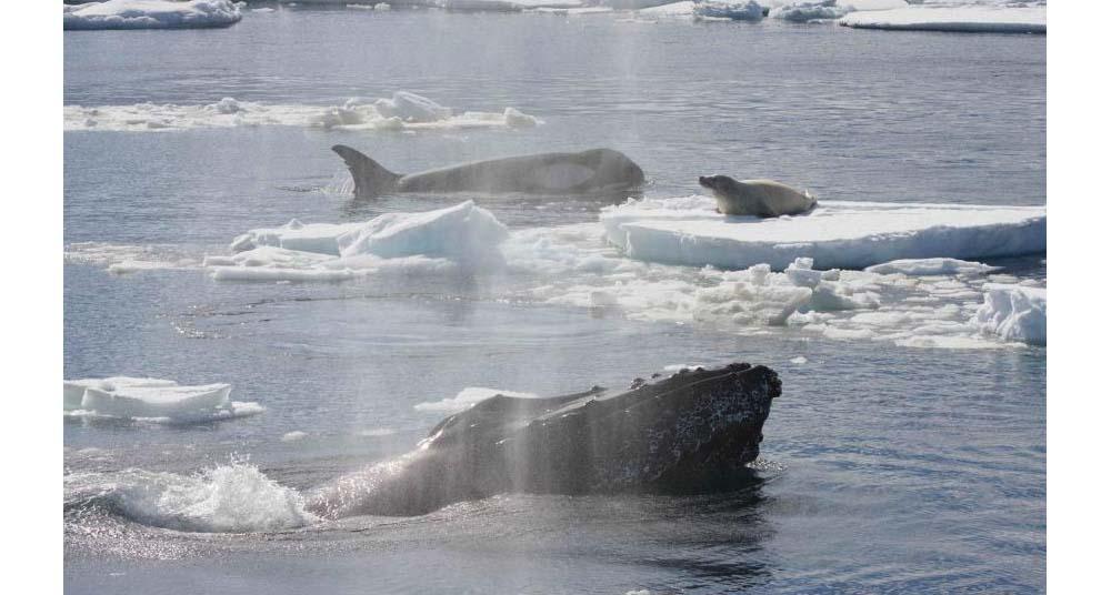 Por qué las ballenas jorobadas protegen a otros animales de las ballenas asesinas