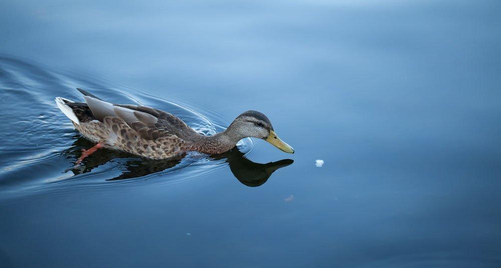 Por qu no debes alimentar a los patos con pan national for Imagenes de estanques para patos