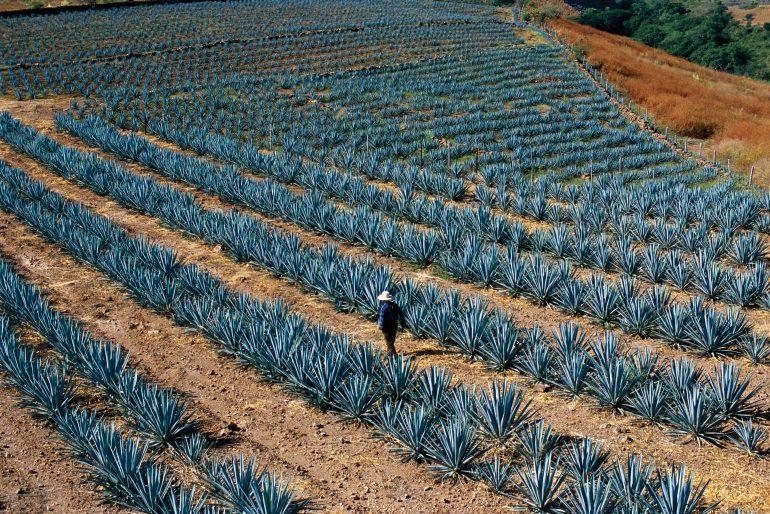 Por rutas azules y agaveras en Tequila