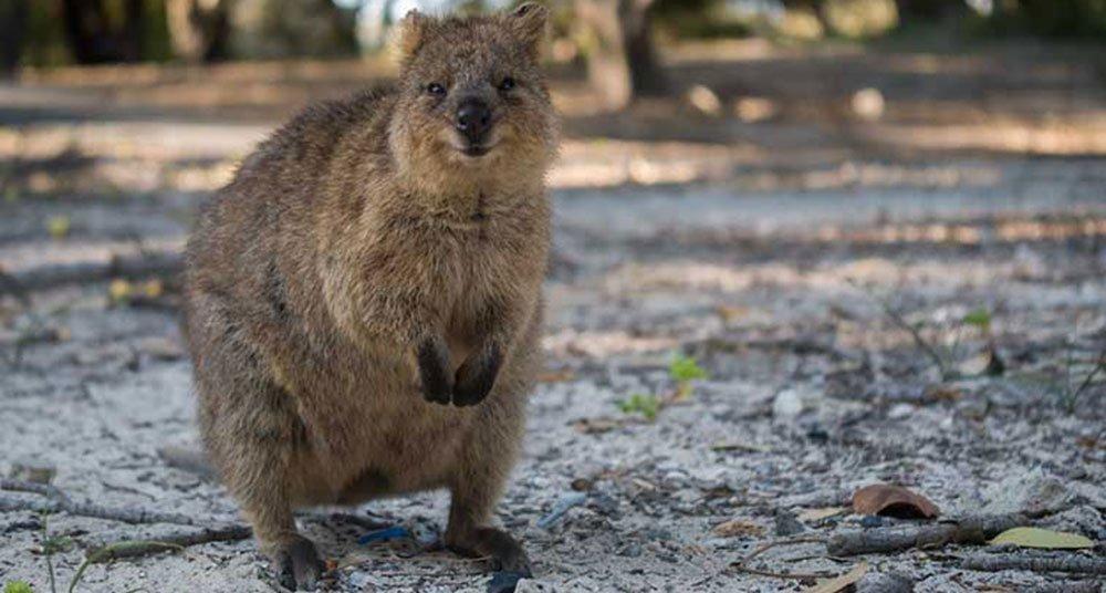 Marsupial Quokka Quokka, el mars...