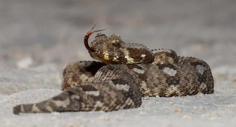 Redescubren en Sudáfrica serpiente venenosa ?extinta?