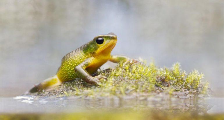 Redescubren sapo ?extinto? en Ecuador