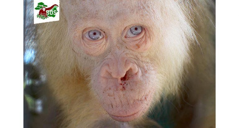 Rescatan a un orangután albino en Borneo