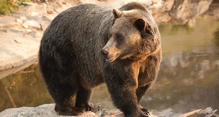 Rescatando al oso grizzly