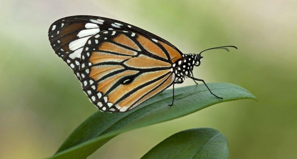 Rescatar a la mariposa monarca