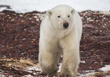 Safari Ártico en Manitoba