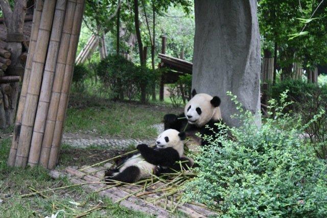 Salvando al oso panda