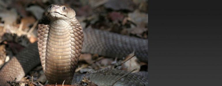 Se descubre una nueva especie de cobra escupidora