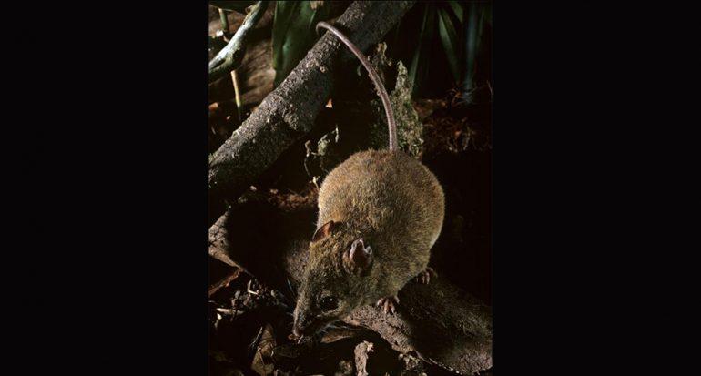 Se extingue primera especie de mamífero por el cambio climático
