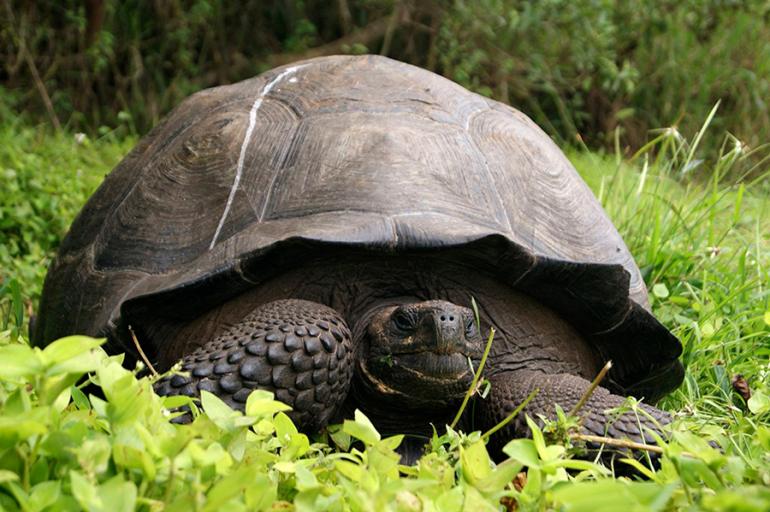 Se logra la tercera camada de tortugas gigantes en Galápagos