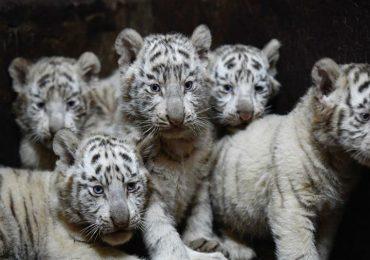 Seis tigres blancos nacieron en China