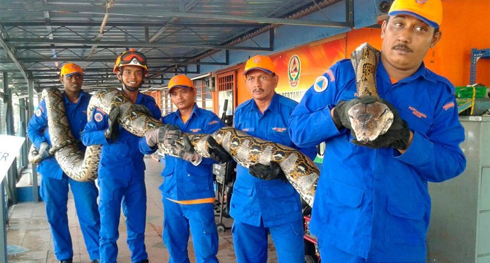 Serpiente colosal muere en circunstancias misteriosas