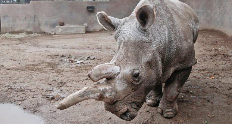 Solo quedan tres rinocerontes blancos del norte