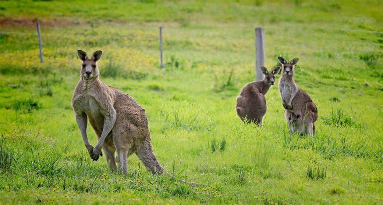Superpoblación de marsupiales