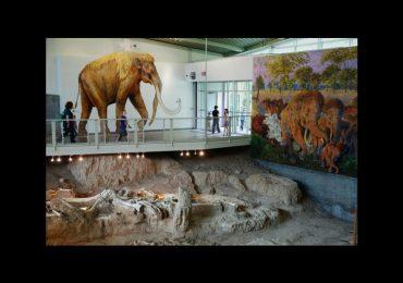 Texas exhibe huesos de mamut donde fueron descubiertos