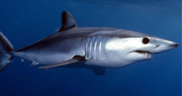 Tiburones y mantarrayas mediterráneas al borde de la extinción