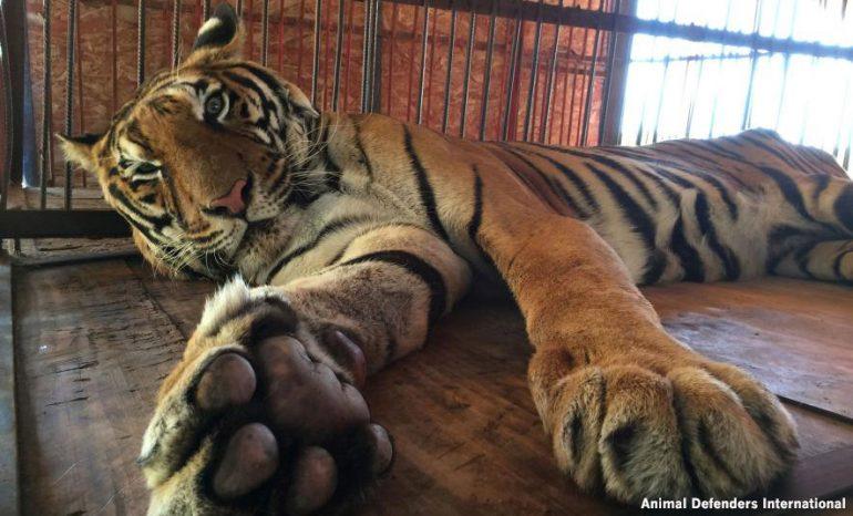 Tigre circense maltratado tiene un final de cuento de hadas