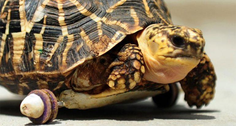Tortuga amputada se mueve sobre ruedas