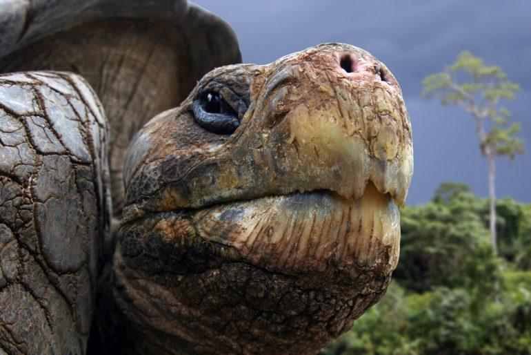 Tortugas gigantes se alejan de la extinción