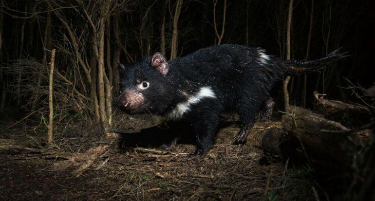 Un cáncer ataca la existencia de los demonios de Tasmania