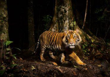 Un clamor por los tigres