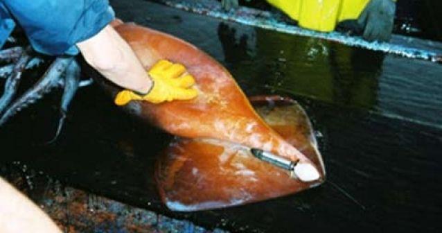 Un grupo de científicos estudia los cachalotes y calamares gigantes