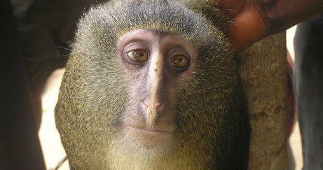 Un nuevo simio