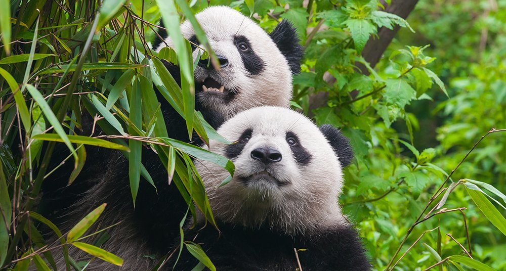 191 Cu 225 Nto Tiempo Llevan Los Osos Pandas Habitando La Tierra