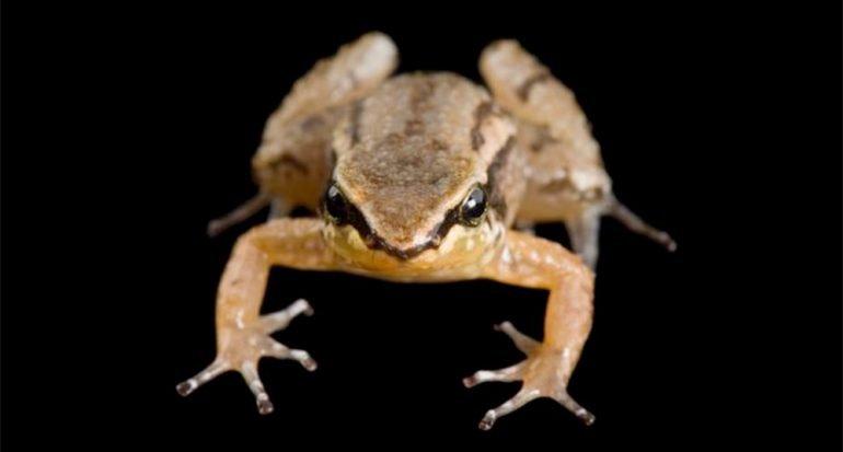 Un volcán podría ocasionar la extinción de la rana cohete