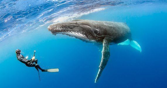 Una ballena protegió a una buzo del ataque de un tiburón