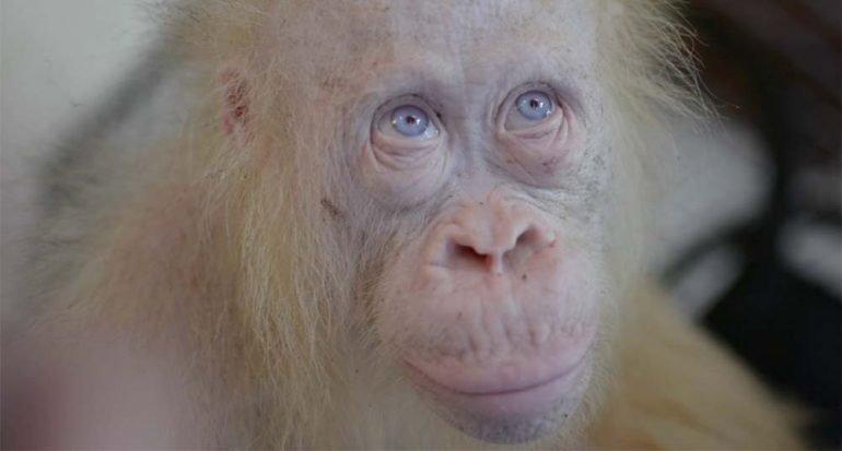 Una orangután albina es rescatada en Indonesia
