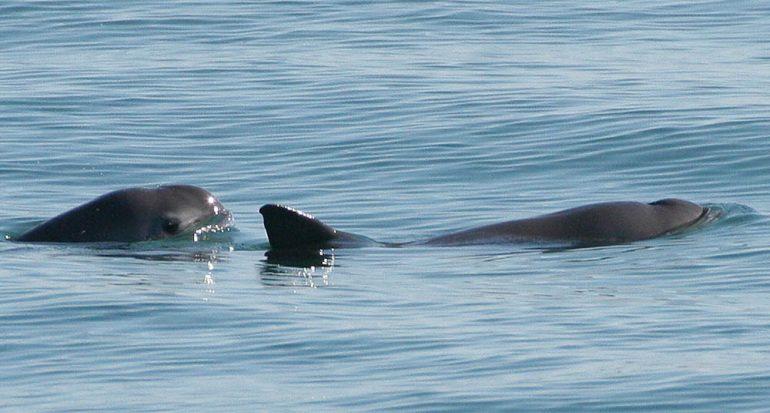 Una vaquita marina y su cría fueron vistas en México