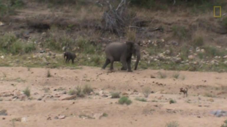 Vídeo: mamá elefanta salva a su bebé de perros salvajes