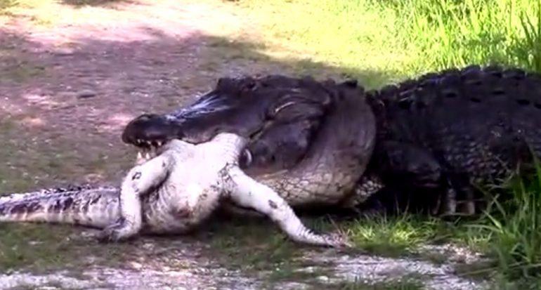 Video: Aligátor americano grande devora a uno pequeño