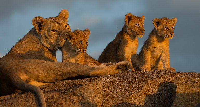 Visita el santuario de leones más grande del mundo