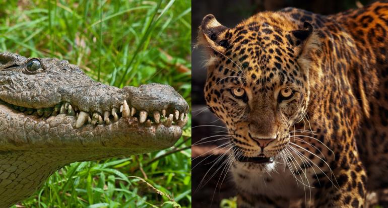 Turista graba una batalla mortal entre un caimán y un jaguar