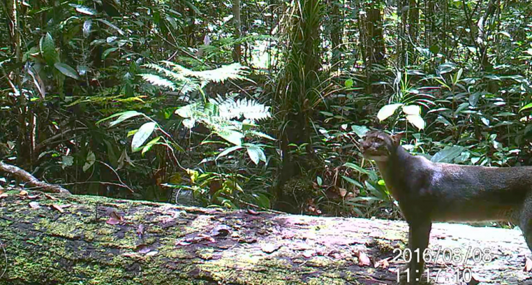 El misterioso gato salvaje de la isla de Borneo
