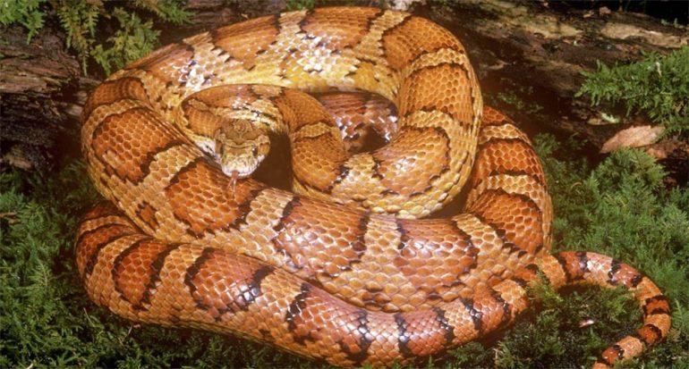 ¿A qué se debe el complejo diseño en las serpientes?