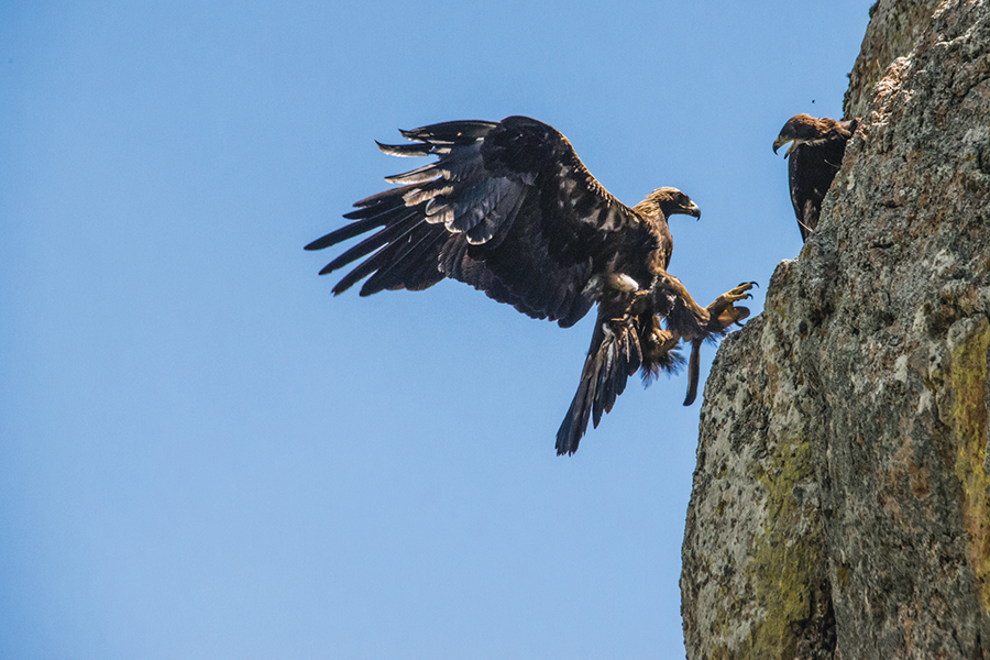 Resultado de imagen para el águila real y su habitat