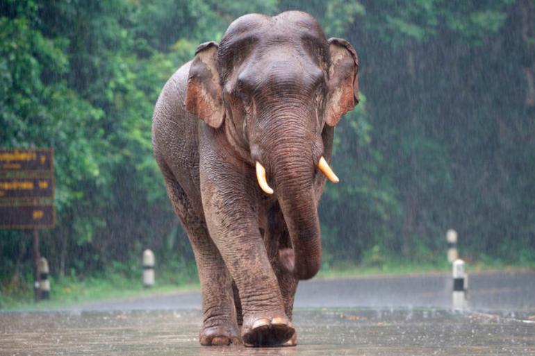 Elefante detectar sonido de lluvia