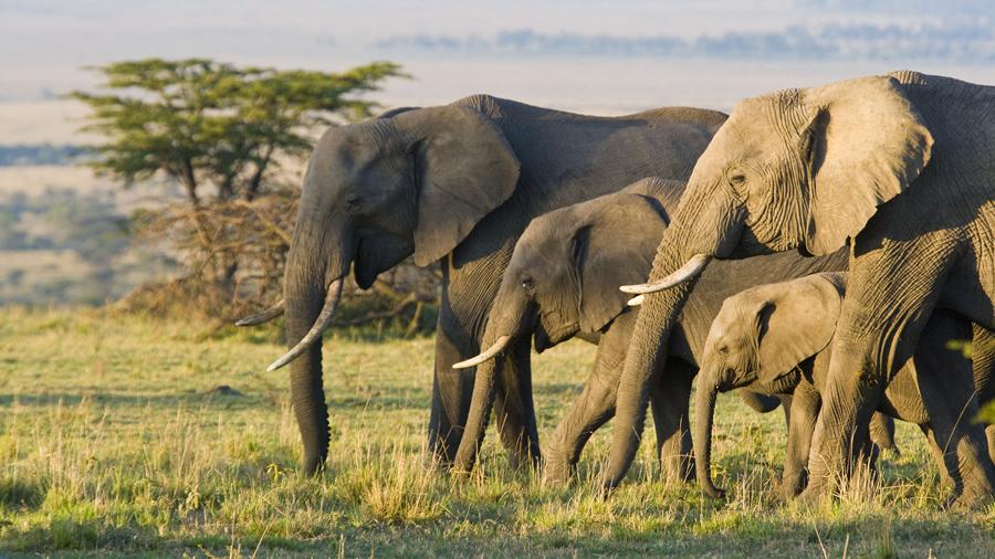Elefante africano menos duerme
