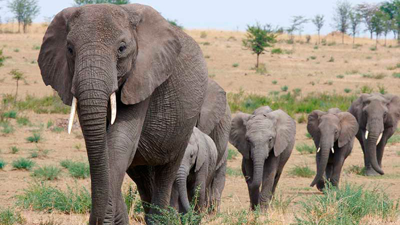 Elefantes menos tiempo duermen