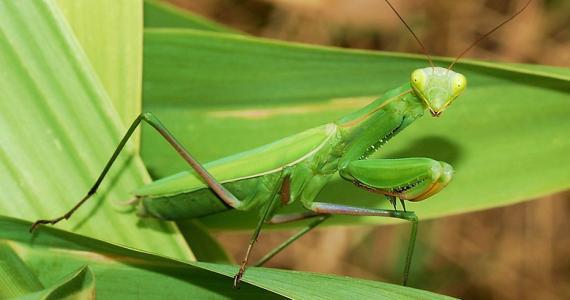 Mantis Religiosa Manera única de Escuchar.