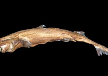 tiburón bioluminiscente